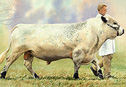 British White bull - New from our gallery 6 range of farming pictures